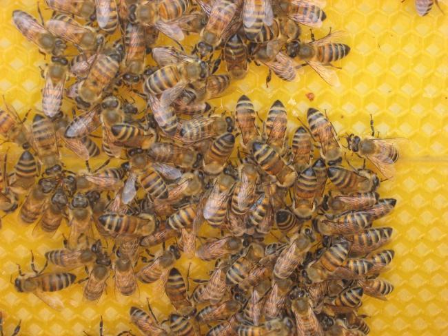 méh méhek méz