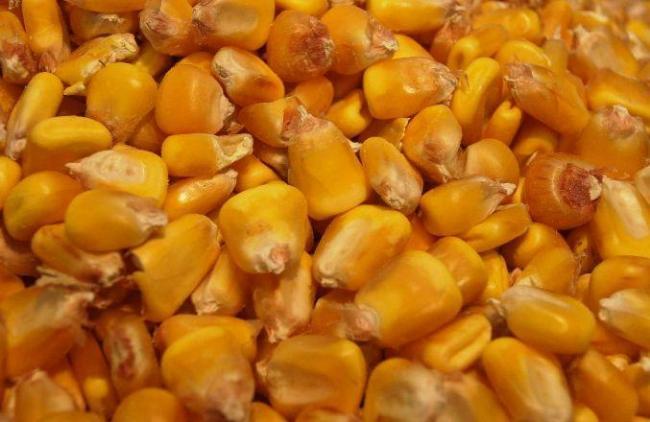 Védelem a génmódosított termények ellen kukorica mag