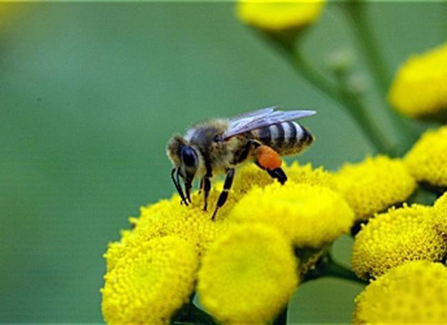 Méhpusztulás - Magyarországon már korábban szigorították a fipronil felhasználását