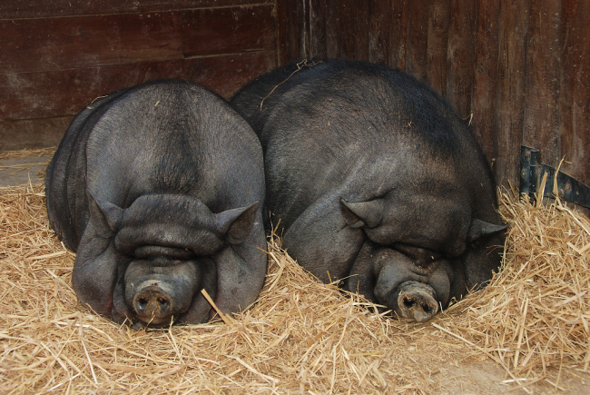 A VM megemelte a baromfi és a sertés állatjóléti támogatásokat