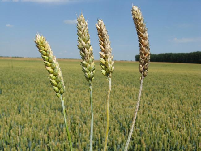 BÁT: olcsóbb lett a búza és a kukorica - thebeercellar.hu