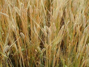 Több őszi szántóföldi növényt vetnek Vas megyében