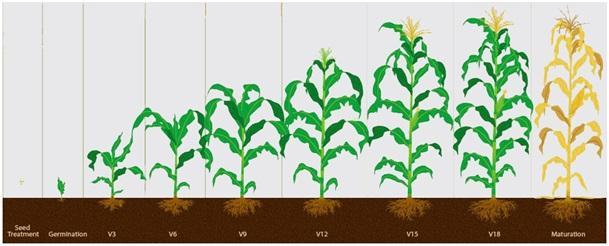 ImproGrain alkalmazása a kukorica 4-9 leveles fejlettségi állapotában