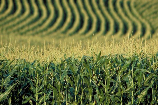 agrárágazat kukorica