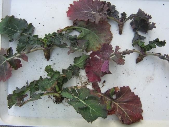 1. ábra: A káposztalégy kártétele következtében súlyosan károsodott repce növények (Fotó: Dr. Molnár András)