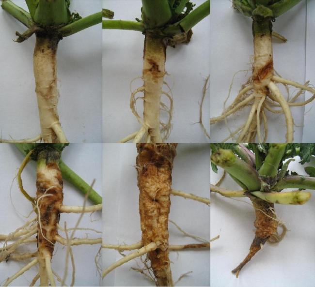 2. ábra: A káposztalégy kártétele következtében különböző mértékben károsodott repce növények. Balról jobbra haladva: 0%, 3%, 15%, 30%, 60%, 100% Fotó: Dr. Molnár András)