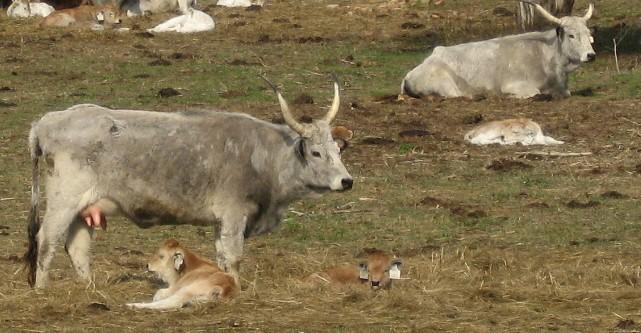 Magyar szürke tehenek télvégén a legelőkertben