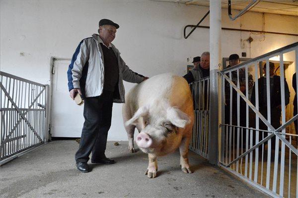 Kenderes, 2014. március 3. Szpisják Imre gazda és Béla nevű, magyar rekorder sertése Kenderesen 2014. március 3-án. A gazda levágta a 8 éves magyar lapály sertést, melynek hossza 251 cm, súlya 560 kg volt. Az óriásira nőtt állat a magyar rekordot 2013. április 27-én állította fel, akkor 530 kilogrammot nyomott. MTI Fotó: Mészáros János