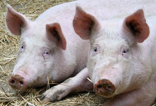Új védjegy garantálja a magyar sertéshús minőségét