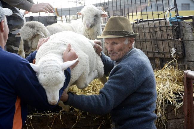 Törtel, 2014. április 14. Gazdák pakolják le kisbárányaikat a felvásárló telepen, Törtelen 2014. április 14-én. Húsvétkor van a legnagyobb kereslet az idei bárányokra, ezért még az ünnep hetében is 600 állatot szállítanak Olaszországba a környékbeli (Abony, Cegléd, Tószeg, Jászkarajenő, Törtel és Nagykőrös) gazdáktól. MTI Fotó: Mészáros János