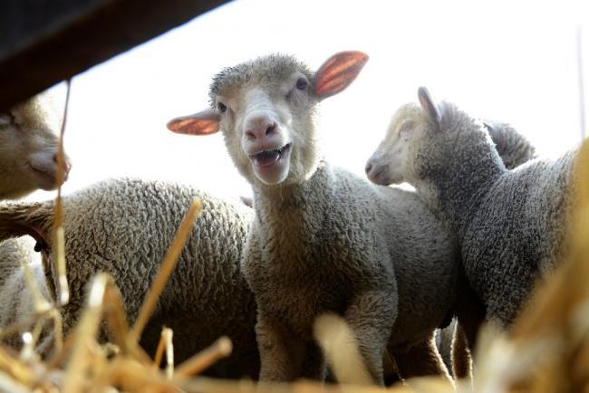 Törtel, 2014. április 14. Szállításra váró kisbárányok a felvásárló telepen, Törtelen 2014. április 14-én. Húsvétkor van a legnagyobb kereslet az idei bárányokra, ezért még az ünnep hetében is 600 állatot szállítanak Olaszországba a környékbeli (Abony, Cegléd, Tószeg, Jászkarajenő, Törtel és Nagykőrös) gazdáktól. MTI Fotó: Mészáros János