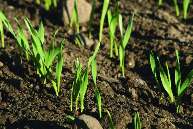 Ígéretesen fejlődnek az őszi vetésű növények Békés megyében