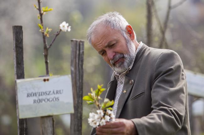 Pórszombat, 2014. április 2. Kovács Gyula pórszombati erdész, a Tündérkert mozgalom egyik kezdeményezője egy virágzó gyümölcsfacsemetét néz Demes-hegyi birtokán 2014. április 2-án. A mozgalom célja, hogy a Kárpát-medence kihalófélben lévő őshonos gyümölcsfáit megmentsék. A férfi többéves munkájának köszönhetően mára több mint kétezer különféle alma-, körte-, szilva-, és barackfacsemete sorakozik a telken. MTI Fotó: Varga György