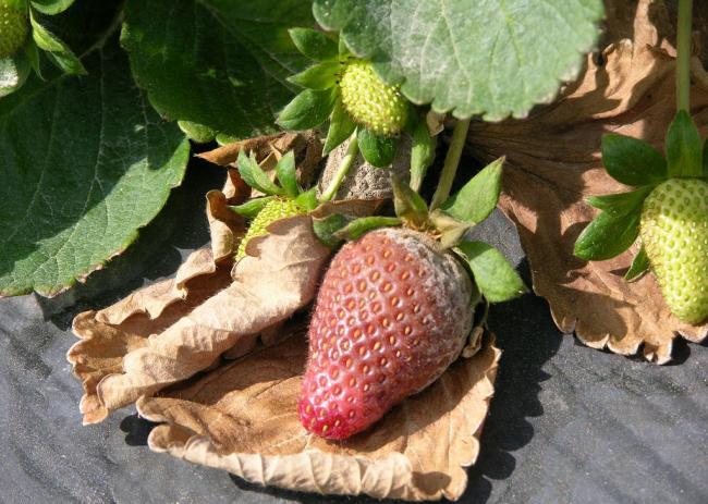 5. kép A szamóca szürkerothadás károsítása nyomán vizenyősödött termés (fotó: D. Ferrin, LSUAC, Bugwood.org)