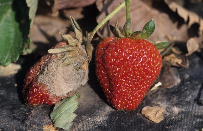 6. kép A szamóca szürkerothadás károsítása termésen (fotó: G. Holmes, VUC, Bugwood.org)