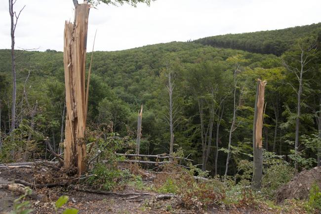 Félmilliárdos kárt okozott Yvette a Vas megyei állami erdőkben Kőszeg, 2014. május 29. Szélvihar miatt kidőlt és megsérült fák a Kőszegi-hegységben 2014. május 29-én. Félmilliárd forintnyi kárt okozott a május közepén Magyarország felett átvonult Yvette nevű ciklon a Szombathelyi Erdészeti Zrt. kezelésében lévő állami erdőkben. MTI Fotó: Varga György