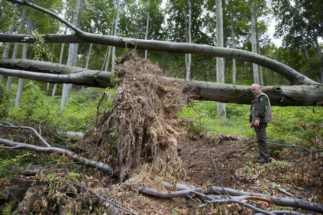 Félmilliárdos kárt okozott Yvette a Vas megyei állami erdőkben Kőszeg, 2014. május 29. Poropatich István főerdész egy szélvihar miatt kidőlt fát néz a Kőszegi-hegységben 2014. május 29-én. Félmilliárd forintnyi kárt okozott a május közepén Magyarország felett átvonult Yvette nevű ciklon a Szombathelyi Erdészeti Zrt. kezelésében lévő állami erdőkben. MTI Fotó: Varga György