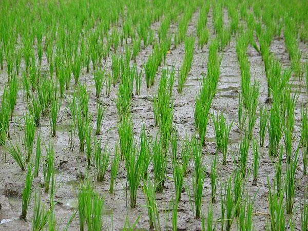 Megkezdődött a különleges rizstámogatás kifizetése