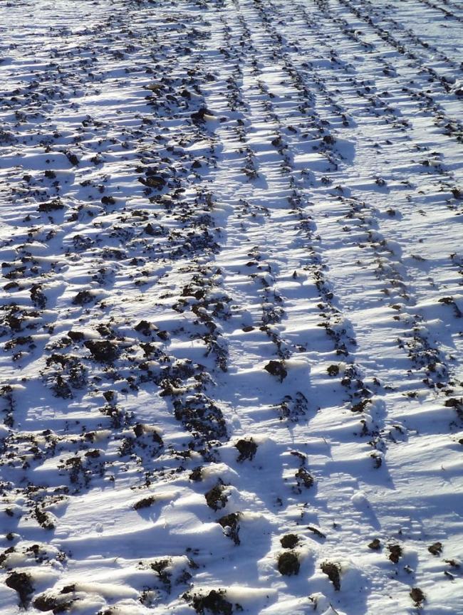 1. ábra Az egyengetett (balra) és a tömörített (jobbra) szántások felszíne hófúvás idején (Fotó: Zsár Ernő Tamás)