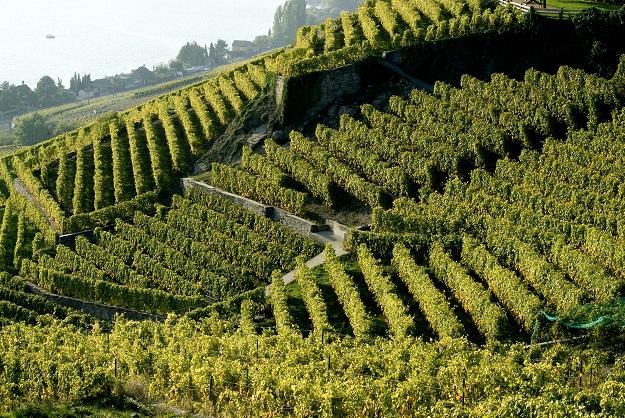 Zárlati intézkedések Zala megye szőlőültetvényein
