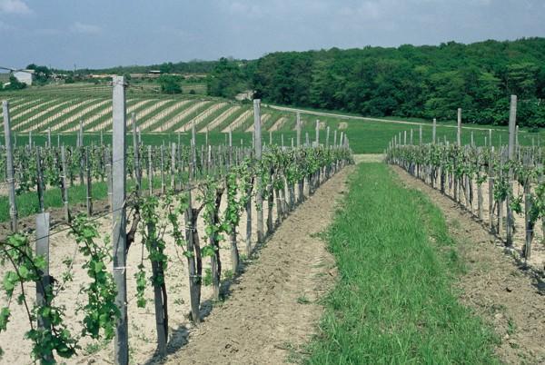 MVH: megkezdődött a szőlőültetvény szerkezetátalakítási támogatás kifizetése