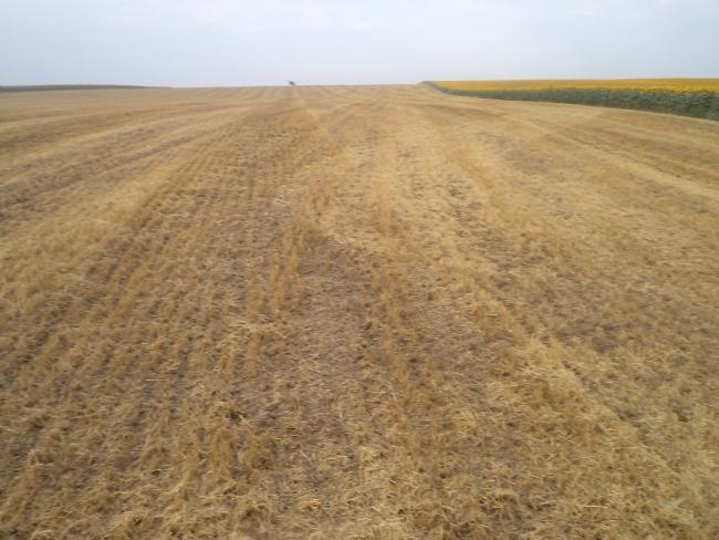 2. ábra: 0-5 cm mélységű tarlóhántás az aratást követő napon, kiszáradt búzatarlón (Fotó: Zsár Ernő Tamás)