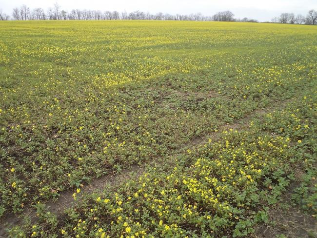 5. ábra: Őszi búza tarlójába vetett mustár másodvetés november közepén. Maradt nedvesség a talajban? (Fotó: Zsár Ernő Tamás)