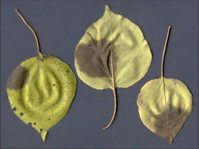 2. a és b kép Gnomóniás levélfoltosság tünetei kajszin