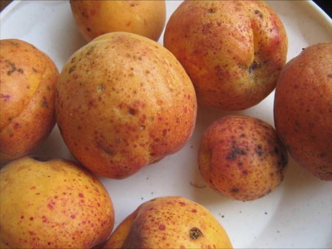 5. kép Sztigminás foltosság kajszi termésen
