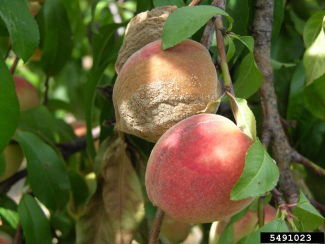 10. kép Tömötten elhelyezkedő gyümölcsökön terjedő moníliás rothadás (M. Giesbrecht, Bugwood.org)