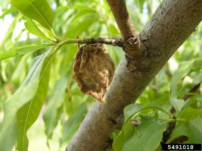 11. kép Összetöppedt gyümölcsmúmia (M. Giesbrecht, Bugwood.org)