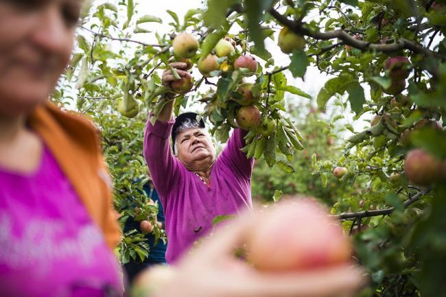 Napkor, 2014. szeptember 22. Mezőgazdasági idénymunkások jonagored almát szednek Tudlik Tamás őstermelő almáskertjében a Szabolcs-Szatmár-Bereg megyei Napkor határában 2014. szeptember 22-én. MTI Fotó: Balázs Attila