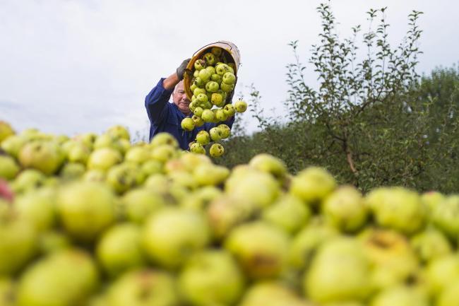 Napkor, 2014. szeptember 22. Egy mezőgazdasági idénymunkás golden almát önt pótkocsira Tudlik Tamás őstermelő almáskertjében a Szabolcs-Szatmár-Bereg megyei Napkor határában 2014. szeptember 22-én. MTI Fotó: Balázs Attila