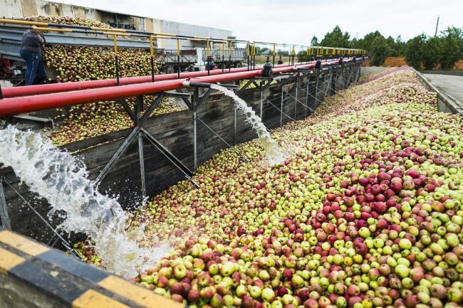 Napkor, 2014. szeptember 22. Garatba engedik az almát a Napkori Almacentrum Kft. feldolgozóüzemében 2014. szeptember 22-én. MTI Fotó: Balázs Attila