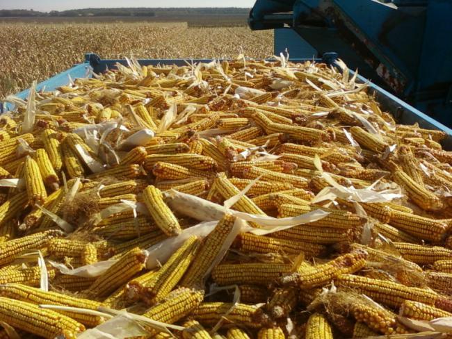 Rekordtermést várnak kukoricából Tolnában