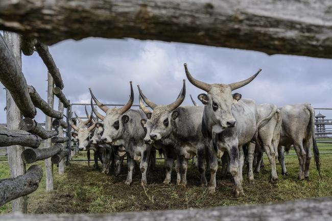 Hortobágy, 2014. október 4. Tenyészbikák a hortobágyi Pusztai Állatparkban rendezett szürkemarhabika-vásáron és tenyészszemlén 2014. október 4-én. Az árverésen a harmadéves, a fajta jellegének megfelelő és több minősítésen is átesett, a hortobágyi pásztorok által felnevelt tenyészbikákra lehetett licitálni. MTI Fotó: Czeglédi Zsolt