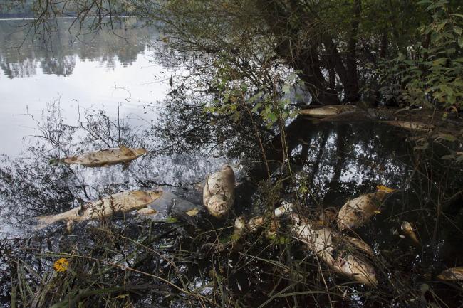 Somogyudvarhely, 2014. október 4. Haltetemek a somogyudvarhelyi tóban 2014. október 4-én. A helyi horgászegyesület emberei az elmúlt héten közel negyven mázsa tetemet találtak. A hatóságok vizsgálják a tömeges halpusztulás okát. MTI Fotó: Varga György