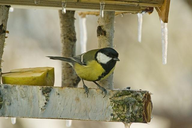 A téli madáretetés fontosságára figyelmeztetnek a madárvédők