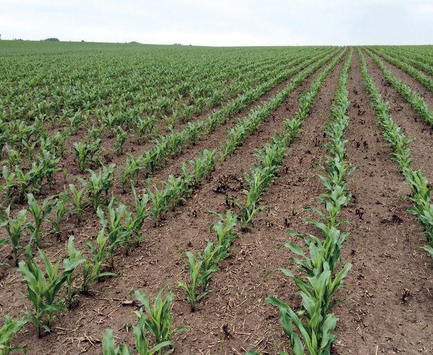A kikelt gyomokra gyors perzselőhatás, a kelő gyomok csírázásának blokkolása = tiszta kukorica lombzáródásig