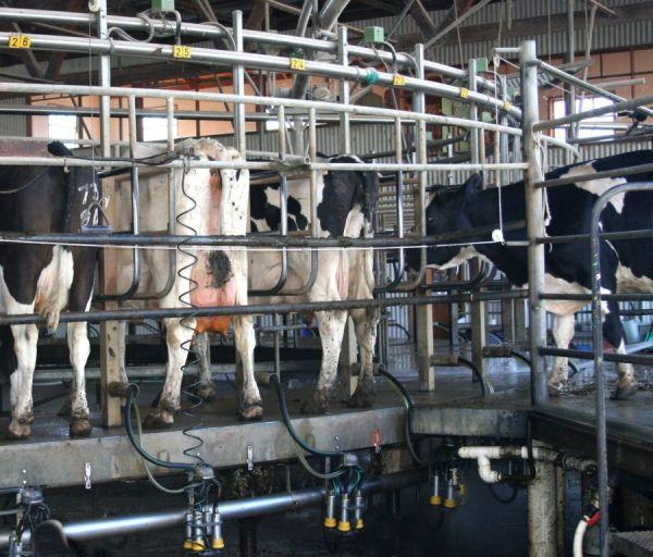 A világ legnagyobb tehenészeti telepe