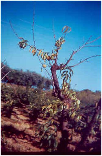 gyümölcsfák parazitái hymenolepidosis és enterobiosis