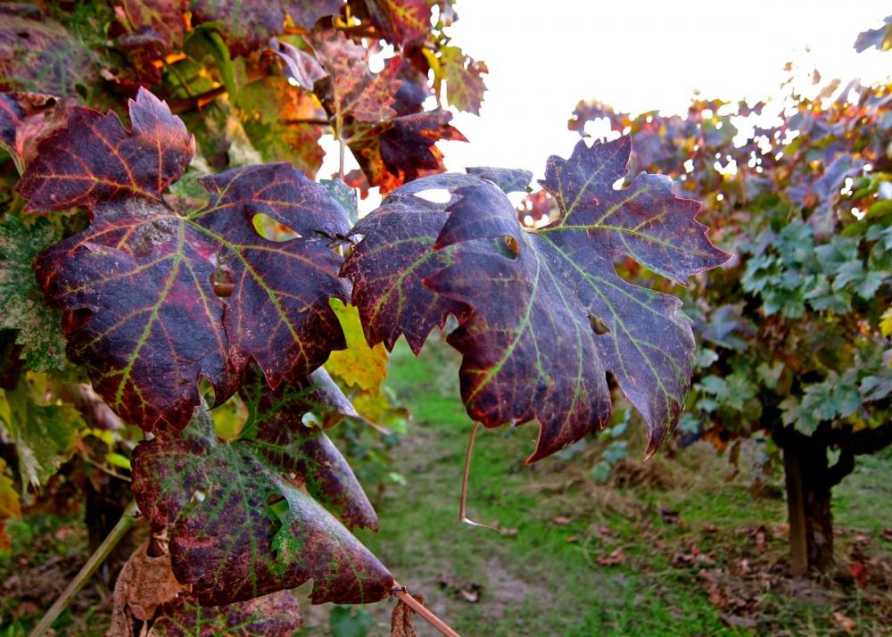 vörös foltok a szőlő kezelésén