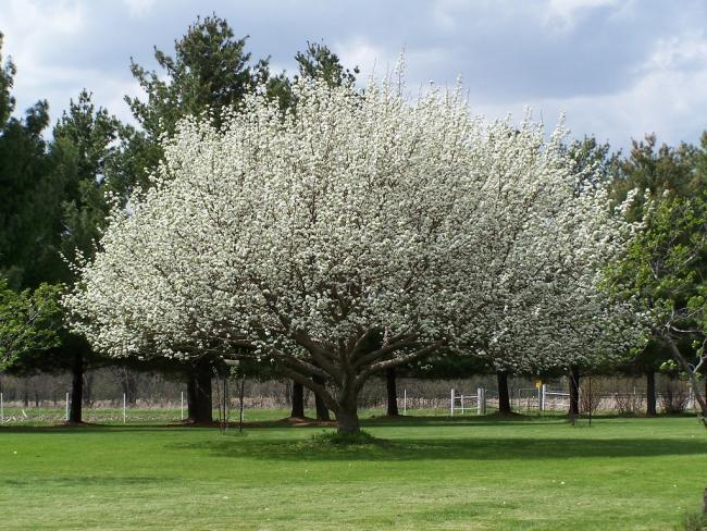 Nashi A Japan Korte Pyrus Pyrifolia Agraragazat