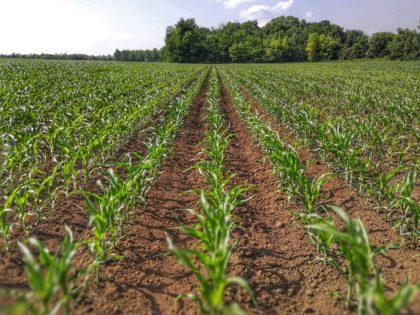 Phylazonit Technológia a kukoricatermesztésben