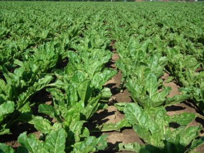 Napraforgó-termesztési trükkök