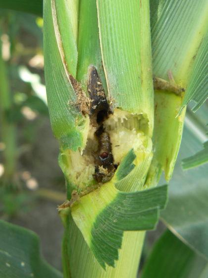 A kukoricamoly kiiktatásával jövedelmezőbb lehet a kukoricatermesztés