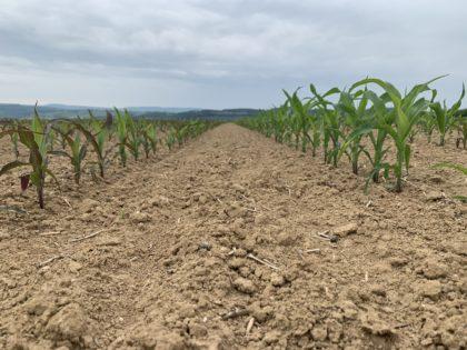 A kukorica foszforhiányos lilulása kezdeti fejlettségben