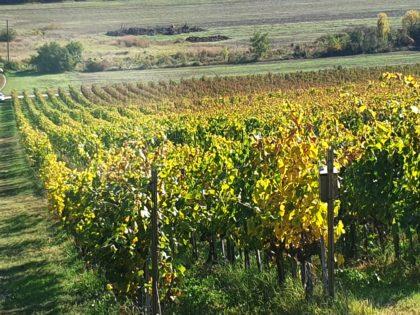 A Flavo Plant hatása a szőlő minőségére
