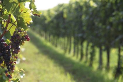 A szőlő levélen keresztüli tápanyag-utánpótlása