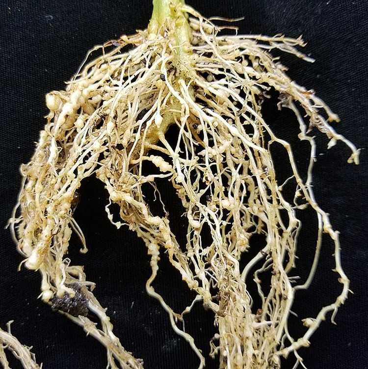 A kertészeti gubacsfonálféreg főleg zárt termesztőberendezésben okoz kárt. Fotó: internet